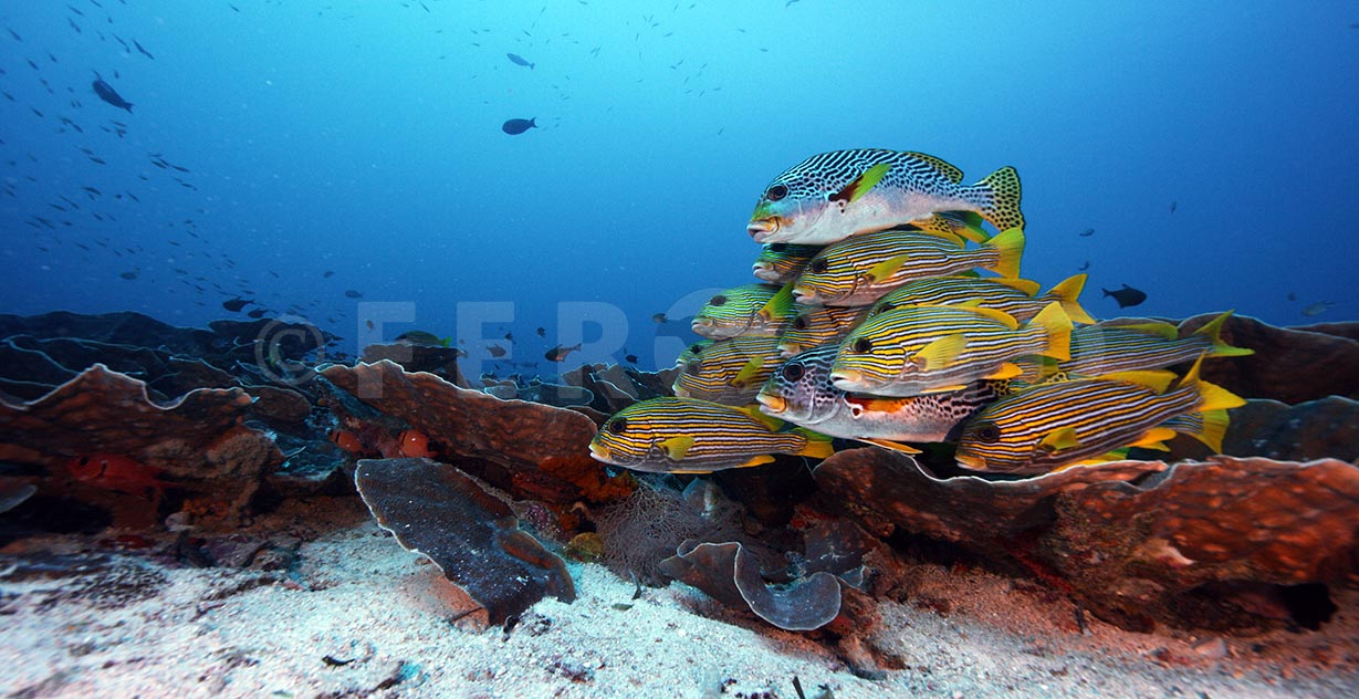Sweetlips 05.jpg
