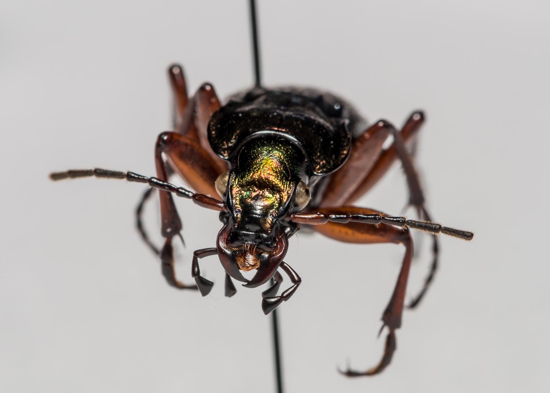 FVDB_BeetlesMacro-4030.jpg