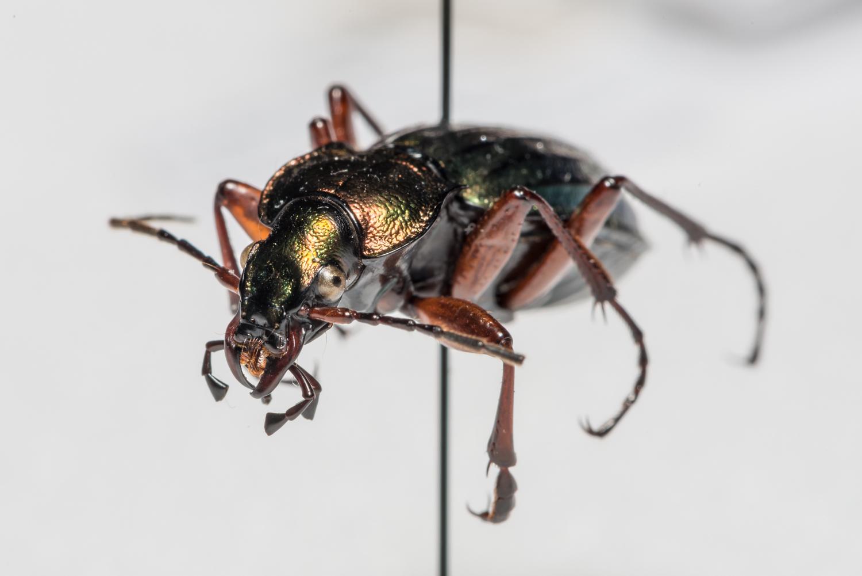 FVDB_BeetlesMacro-4031.jpg