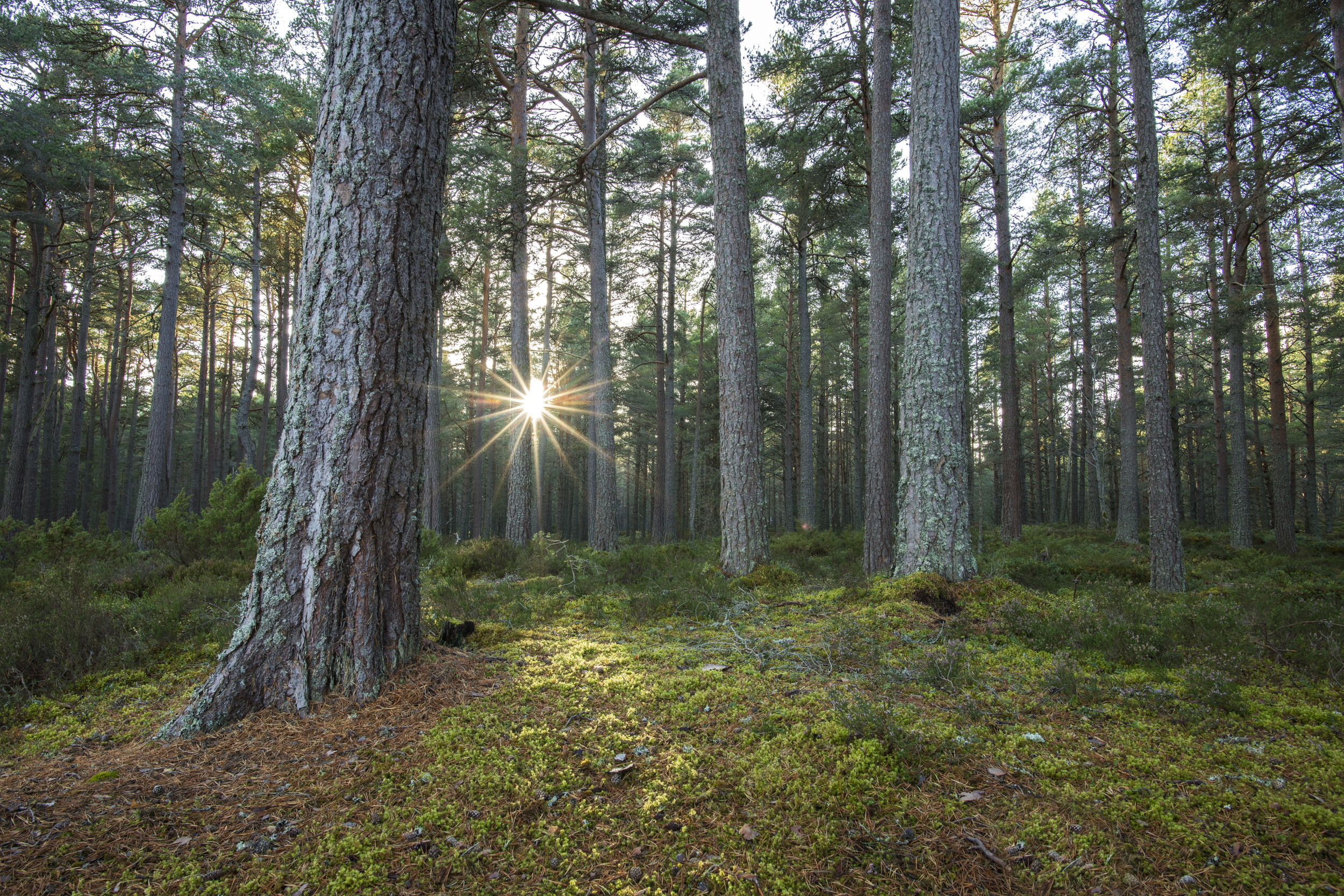 Caledonian Pine Forest 01 small.jpg