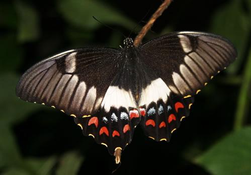 "The Australian ""Orchard butterfly"" Papilio aegeus"