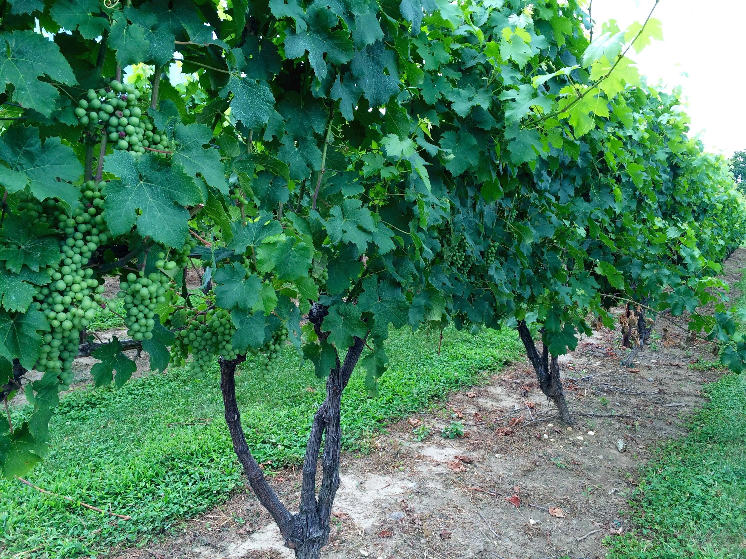Preston Ridge Vineyard grapes!