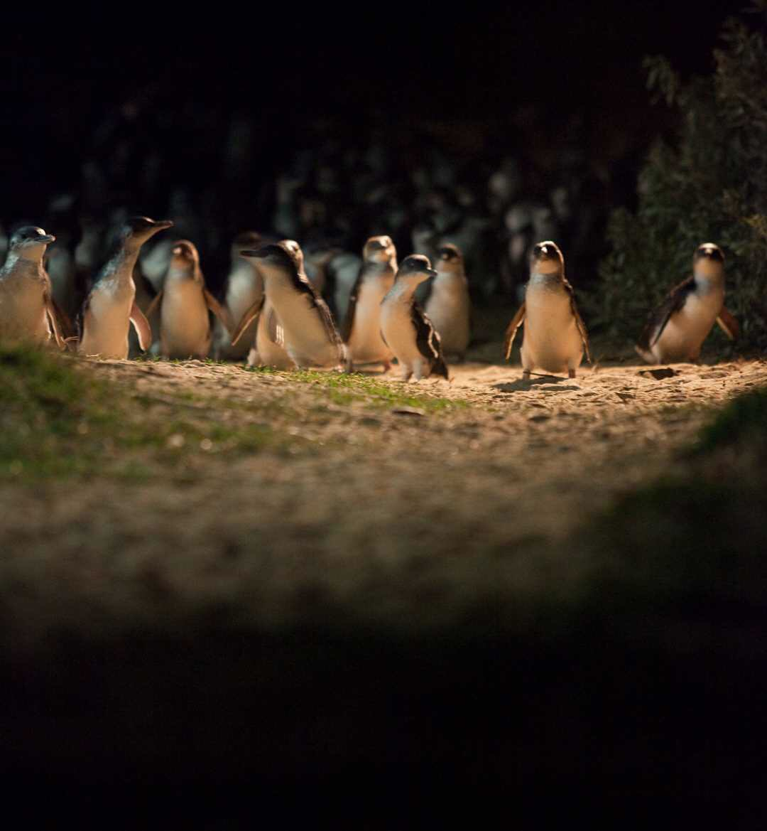 Photo courtesy of the  Penguin Parade .