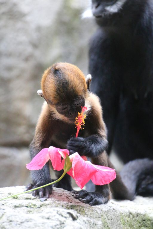 Nangua examines a flower given to him as part of the Lunar New Year celebrations, and, we like to think, in anticipation of Valentine's Day. (Photo courtesy of the  Taronga Zoo .)