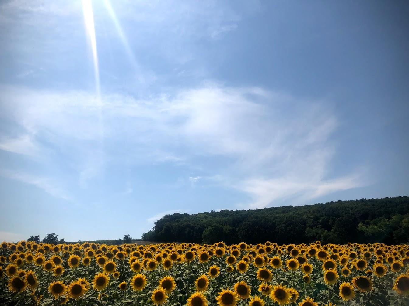 Sunflower Fields Everywhere.jpg