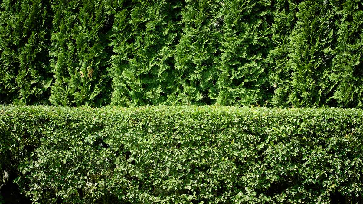 privacy-hedge.jpg