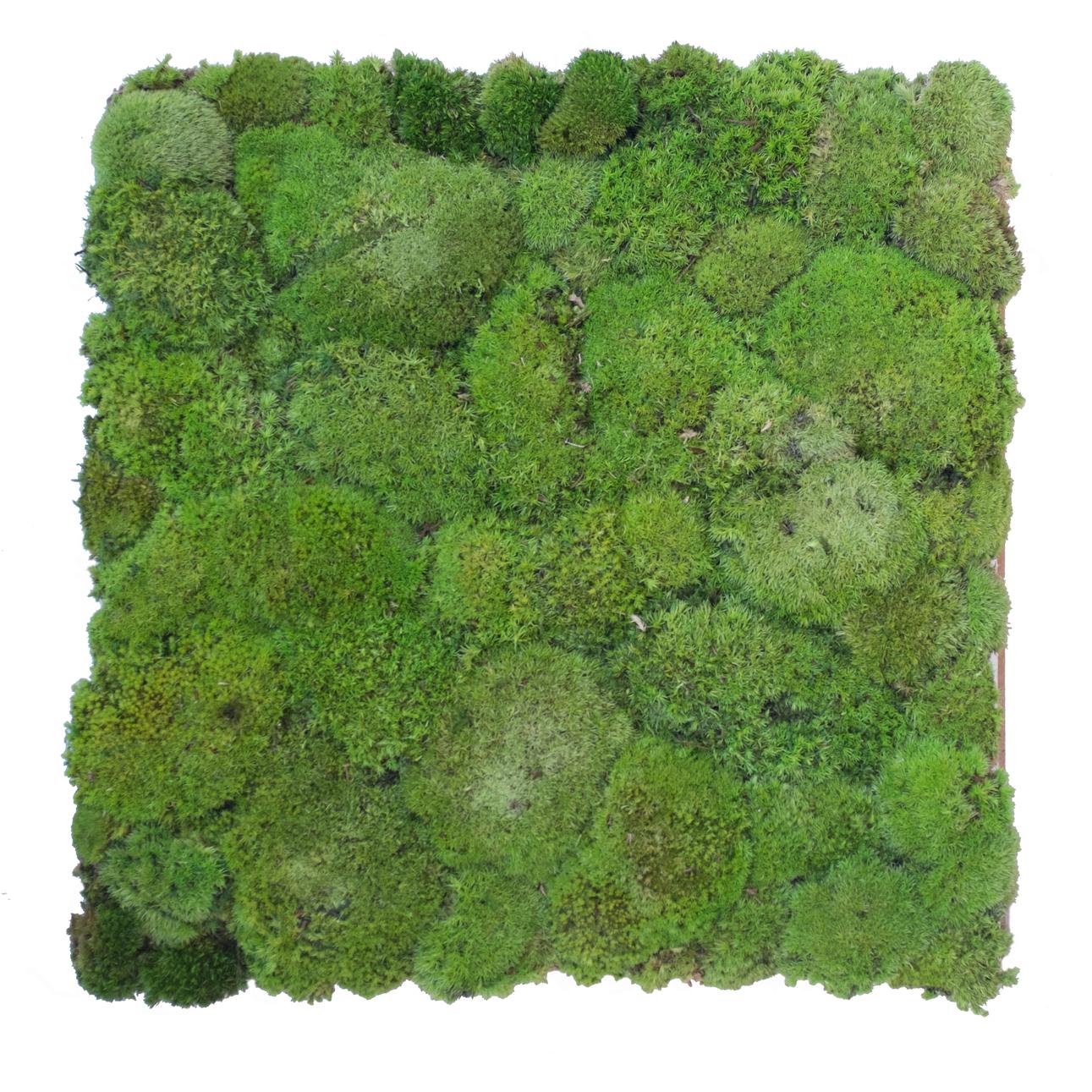 Preserved green Bun Moss Wall