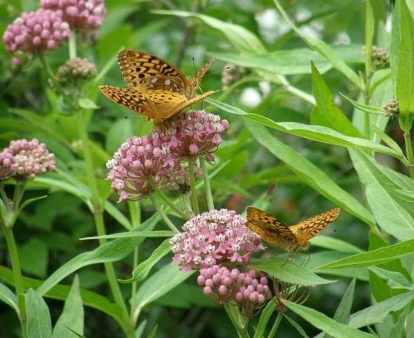 flowers_purple_swamp_milkweed_P6200043_rsz_mc.jpg