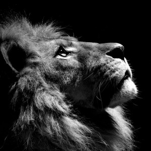 lion-black-and-white-ipad-wallpaper-300x300.jpg