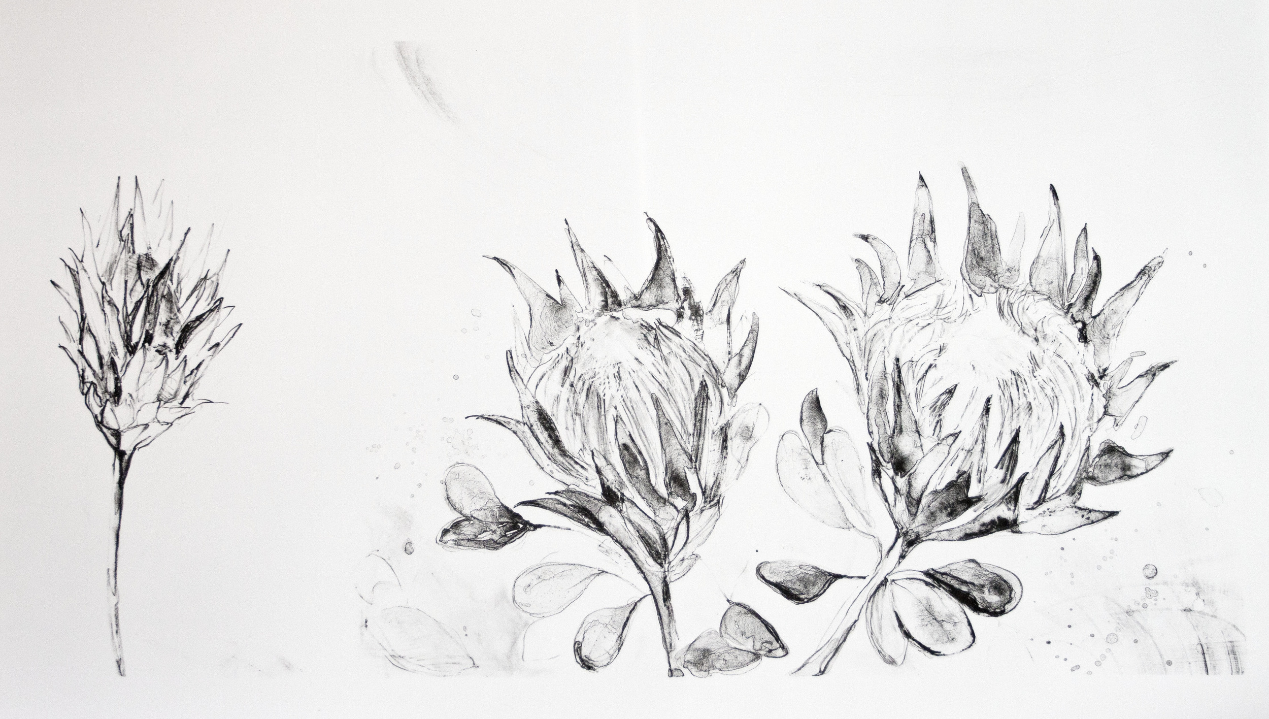 Proteaceae - King Protea   Lithograph. 2016  55 x 95cm  $850 (F)  $600 (UF)