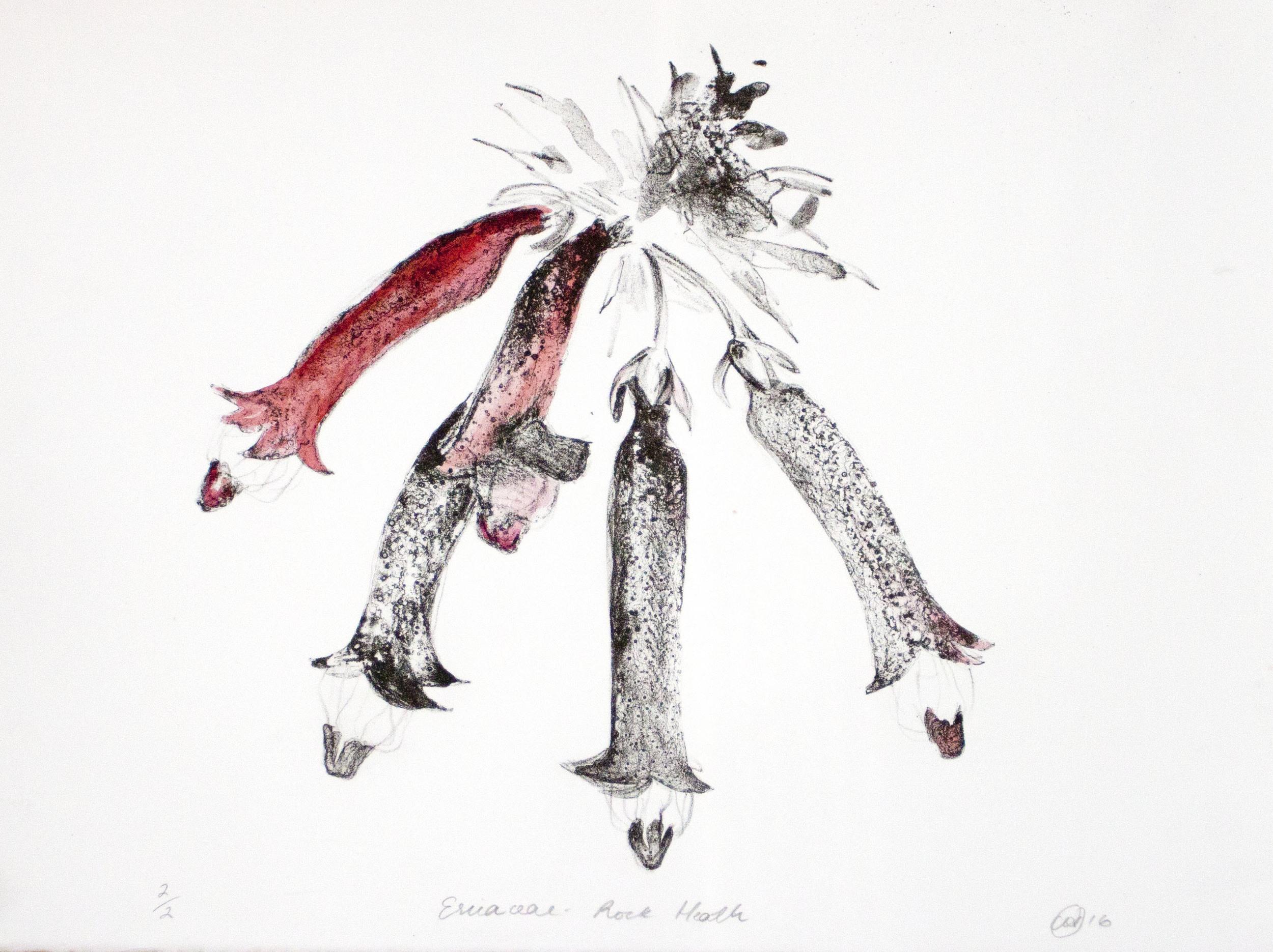 Ericaceae - Rock Heath   Hand-coloured Lithograph. 2016  30 x 40cm  $500 (F)  $300 (UF)