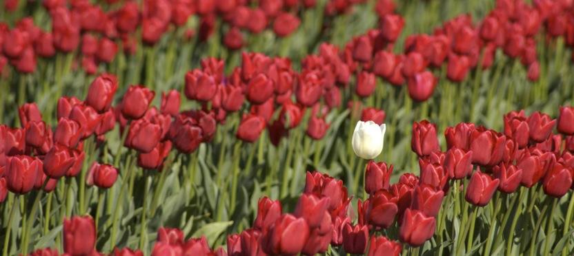 Single White Tulip.jpg