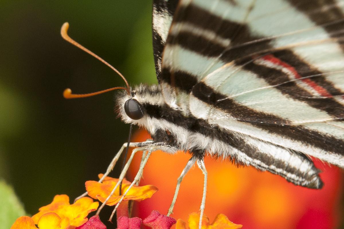 Zebra Swallowtail on Lantana, (c) Lauren Peeler Brice