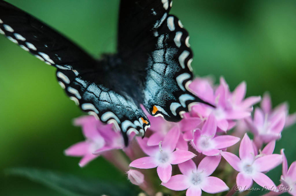 radiant Swallowtail, Four Rivers Photo Workshops