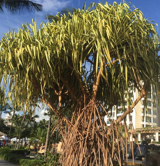 Hala-TreeWeb.jpg