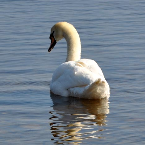 Hanko---swan,-square-drop-o.jpg