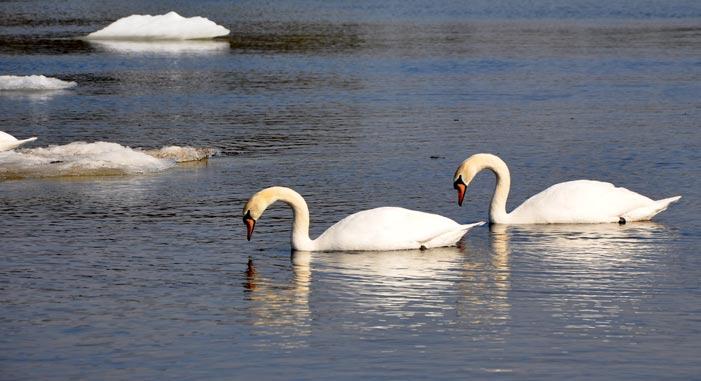 Hanko---symmetrical-swans-1.jpg