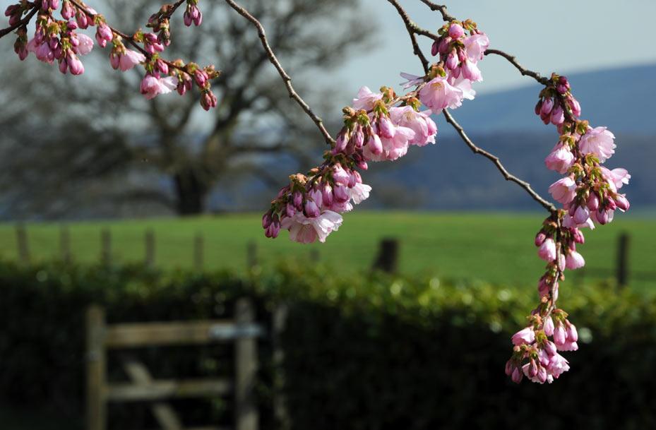 Bronllys-cherry-blossoms-an.jpg