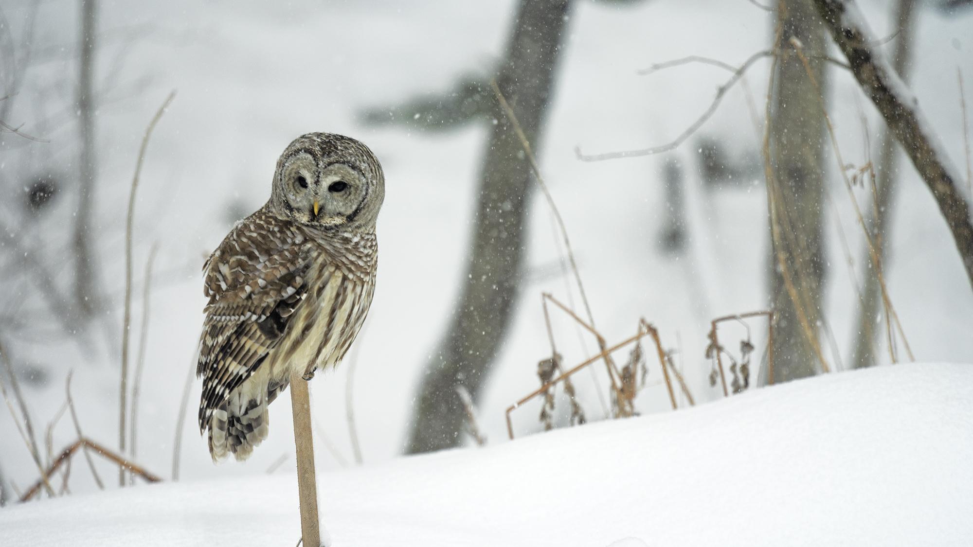 owlstake-w.jpg