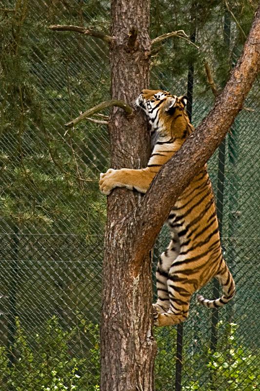 agile-tiger.jpg