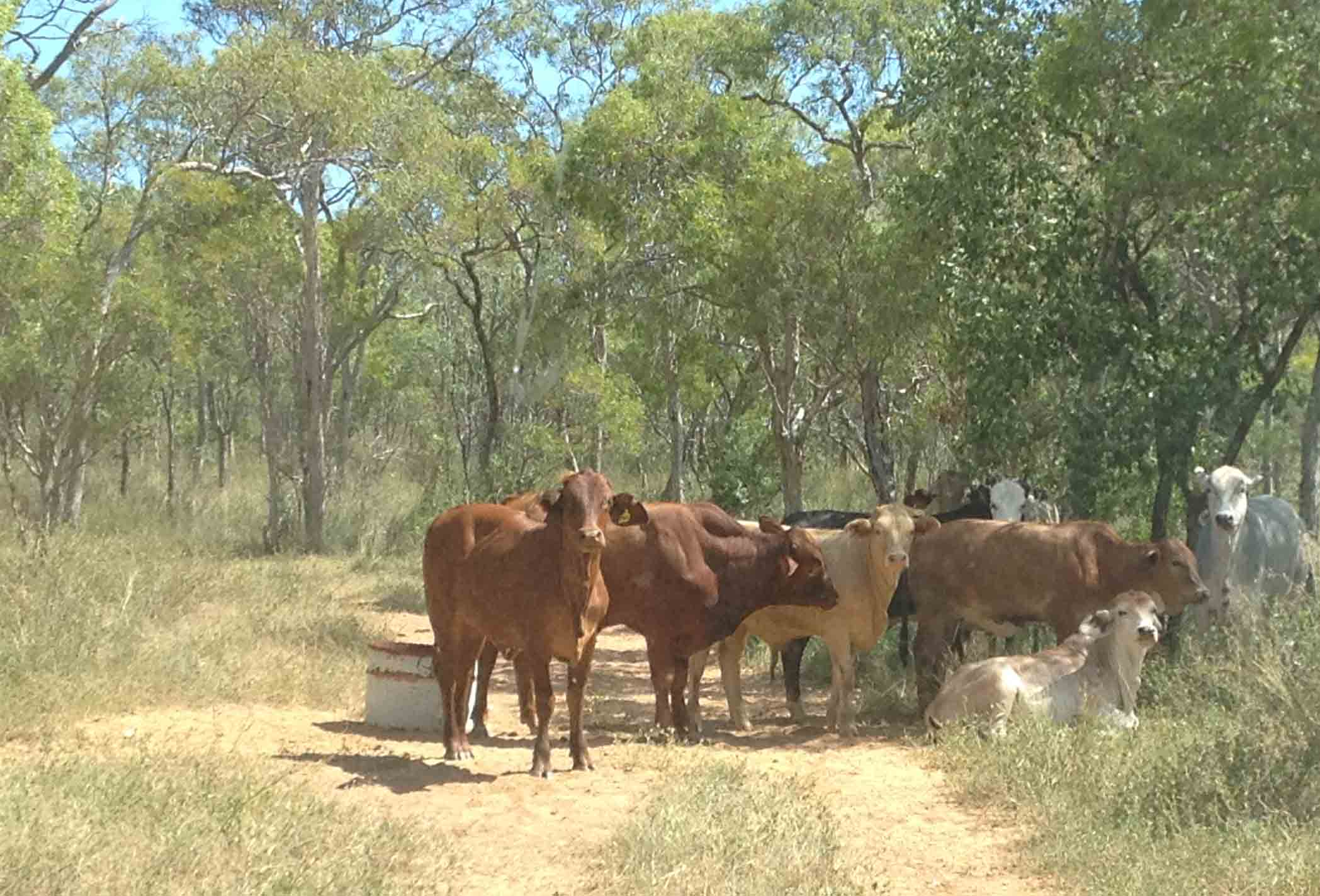 Rangelands cattle grazing is big in Australia