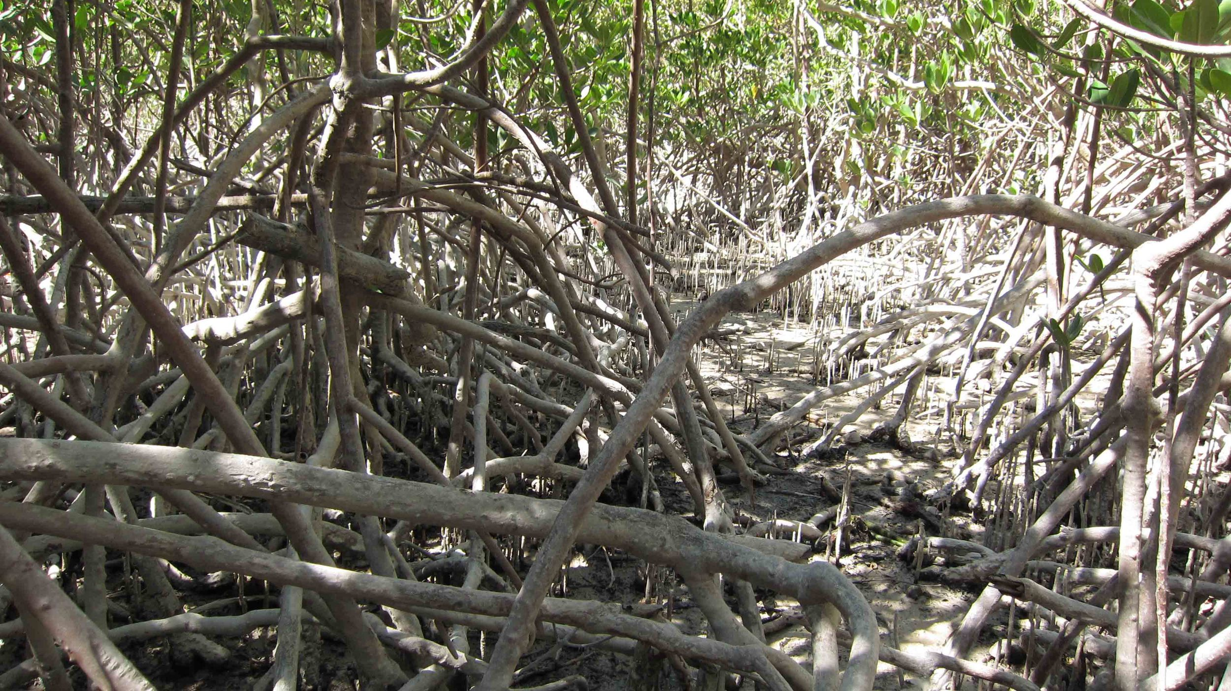 Could we make a method for increasing our depleted northern mangroves?