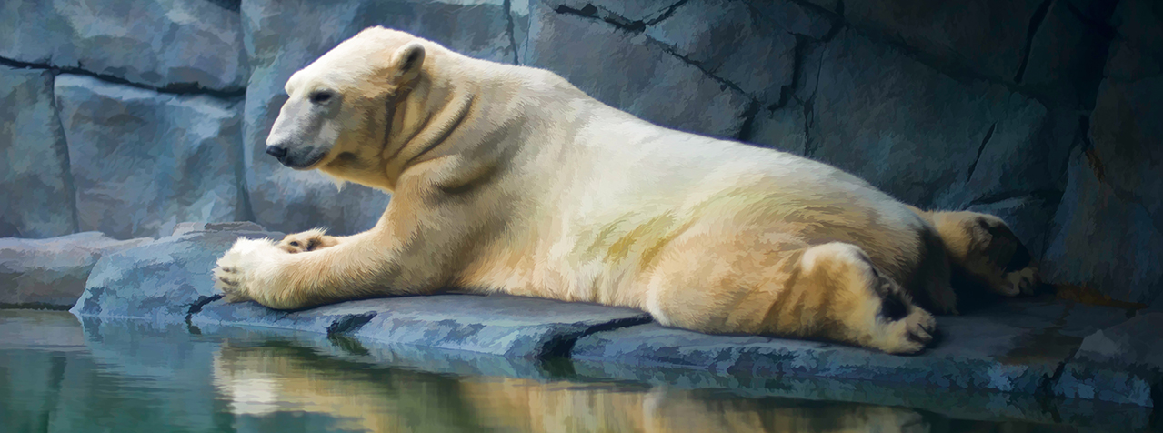 Lounging Polar Bear 001 | Wall Art Resource