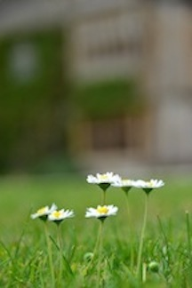 Walker, A.,  Daisies in the Cotswolds , 2012