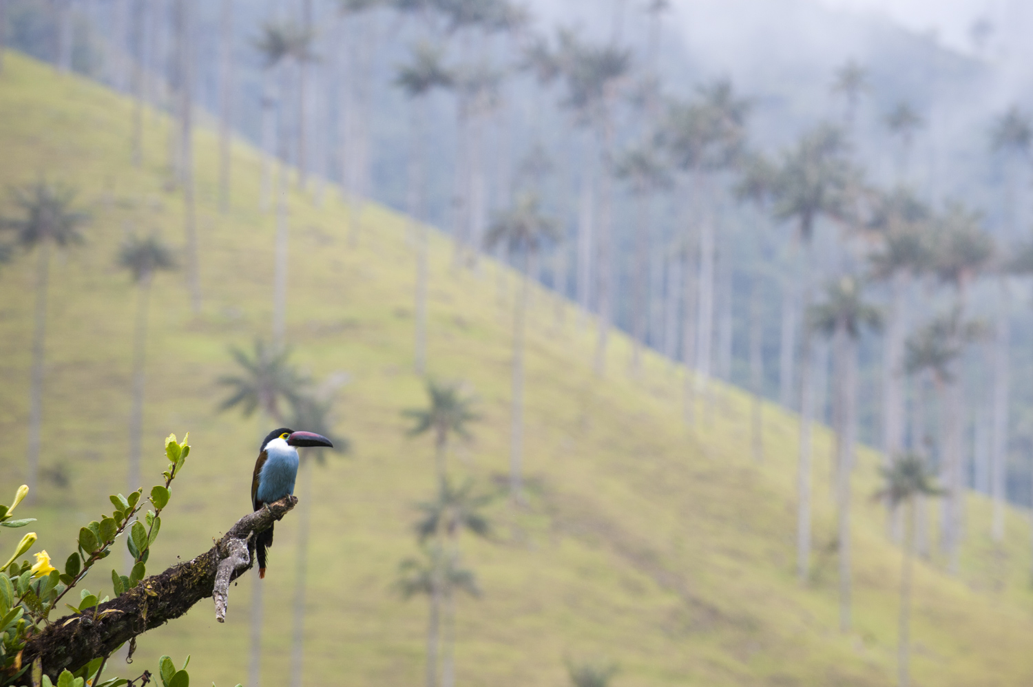 A Toucan in the Corcora valley