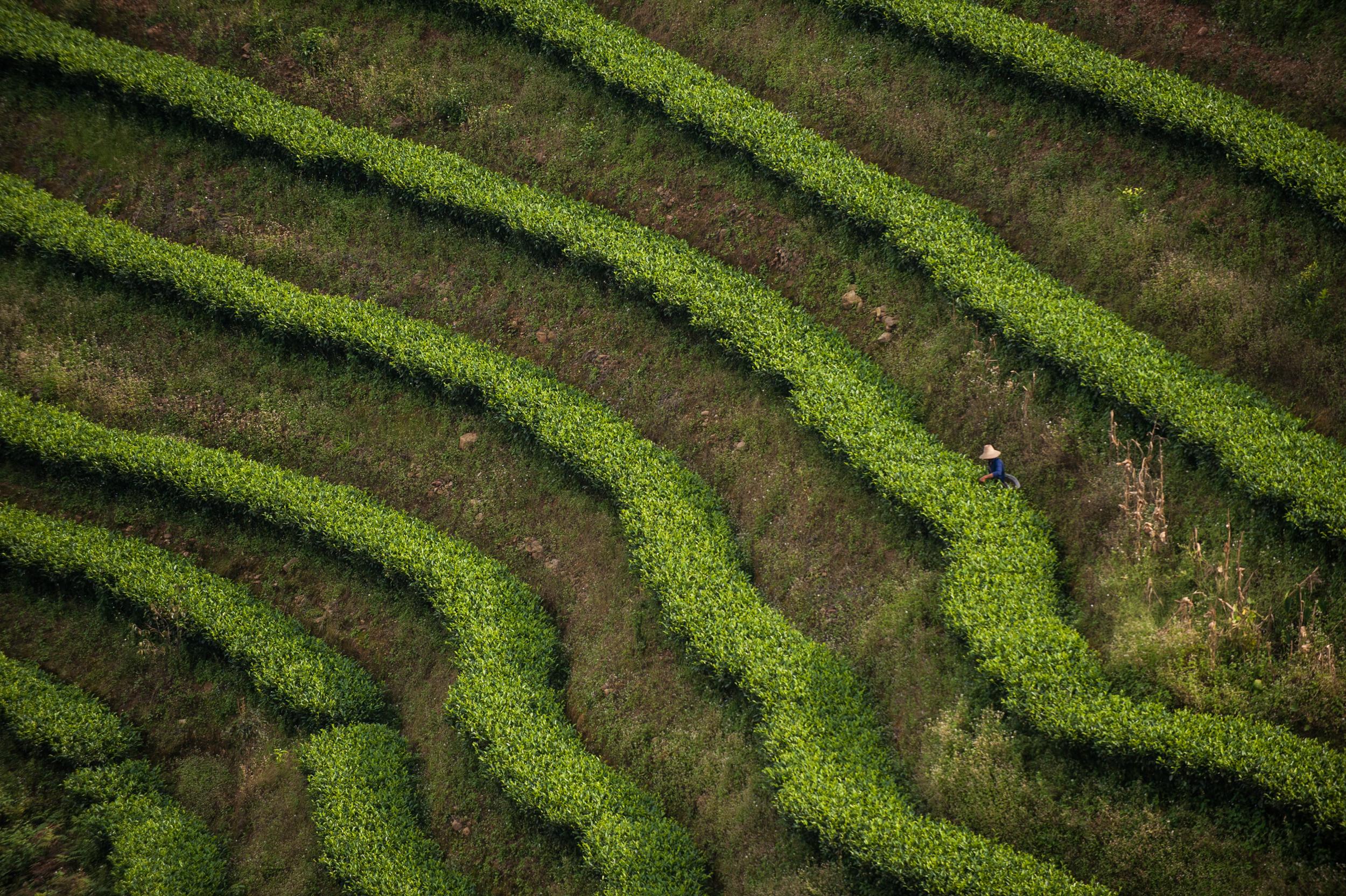 Puer tea bushes _DSC6923.jpg