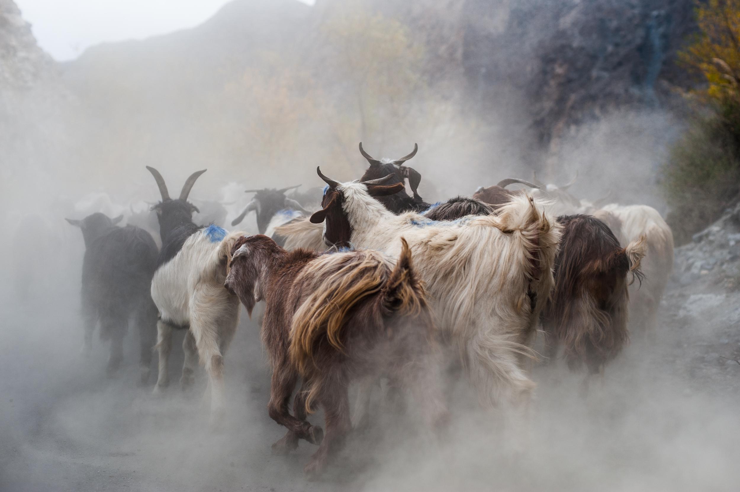 A heard of goats running along a dusty road in northern Pakistan _DSC2060.jpg
