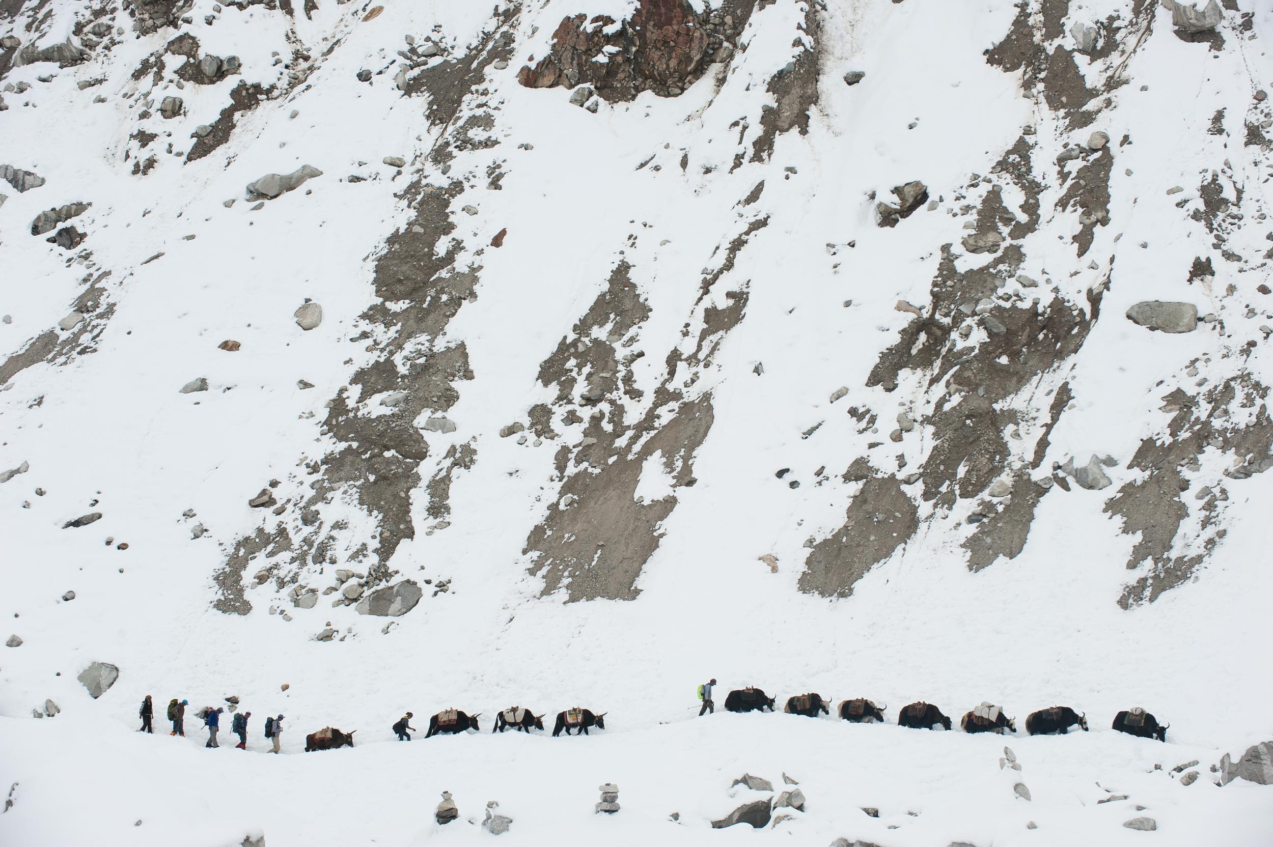 Yaks, Khumbu, Nepal