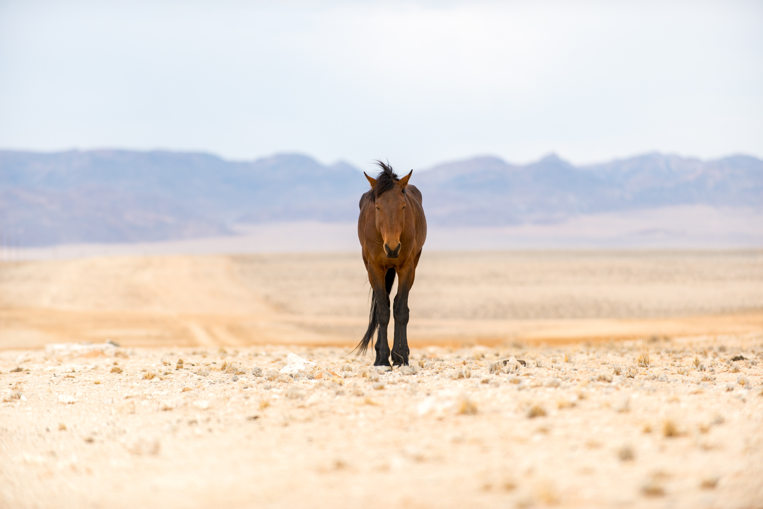 Namibia    A wild horse on the dusty plains near Aus in southern Namibia. Between 90 - 150 wild horses roam free in this area