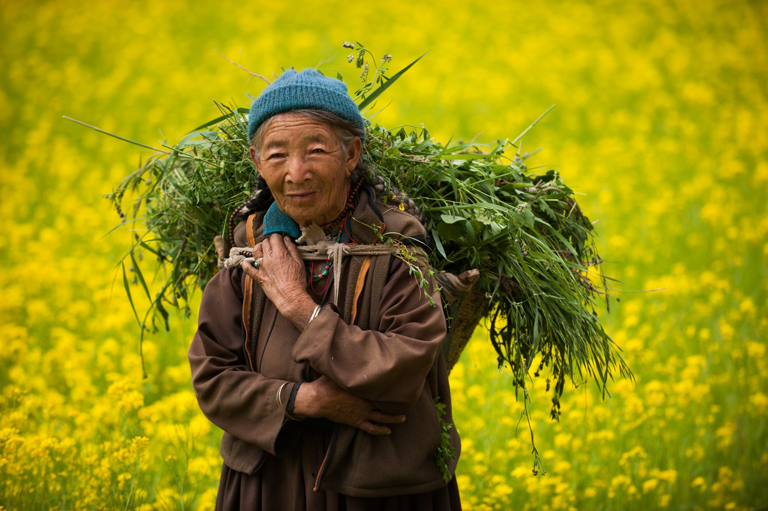 India - Ladakh   An old Ladakhi woman in a vibrant yellow mustard oil field carries fodder to feed to animals