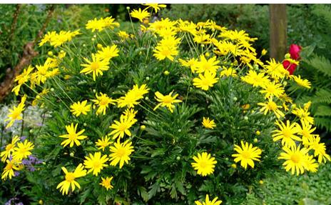 Gamolepis chrysanthemoides