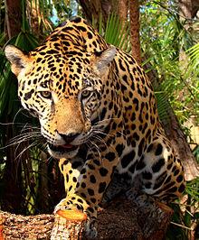 Jaguar by Bjørn C. Tørrissen
