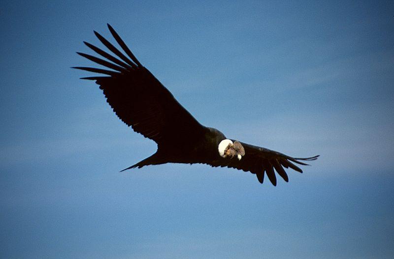 Andean Condor by Colegota