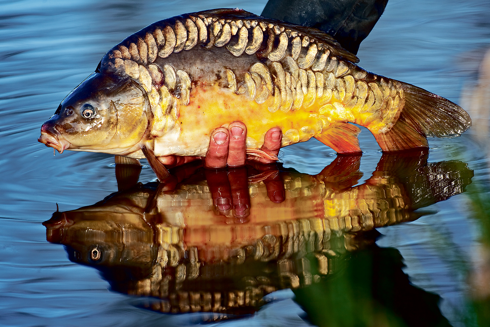 Using the strong reflection of the mirror carp to enhance this picture