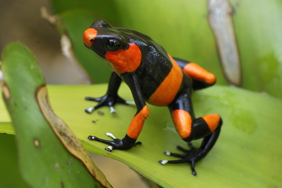 Lehmann's Poison Frog in Anchicaya Valley near Dagua ,  Columbia. Credit Image: ©Thomas Marent