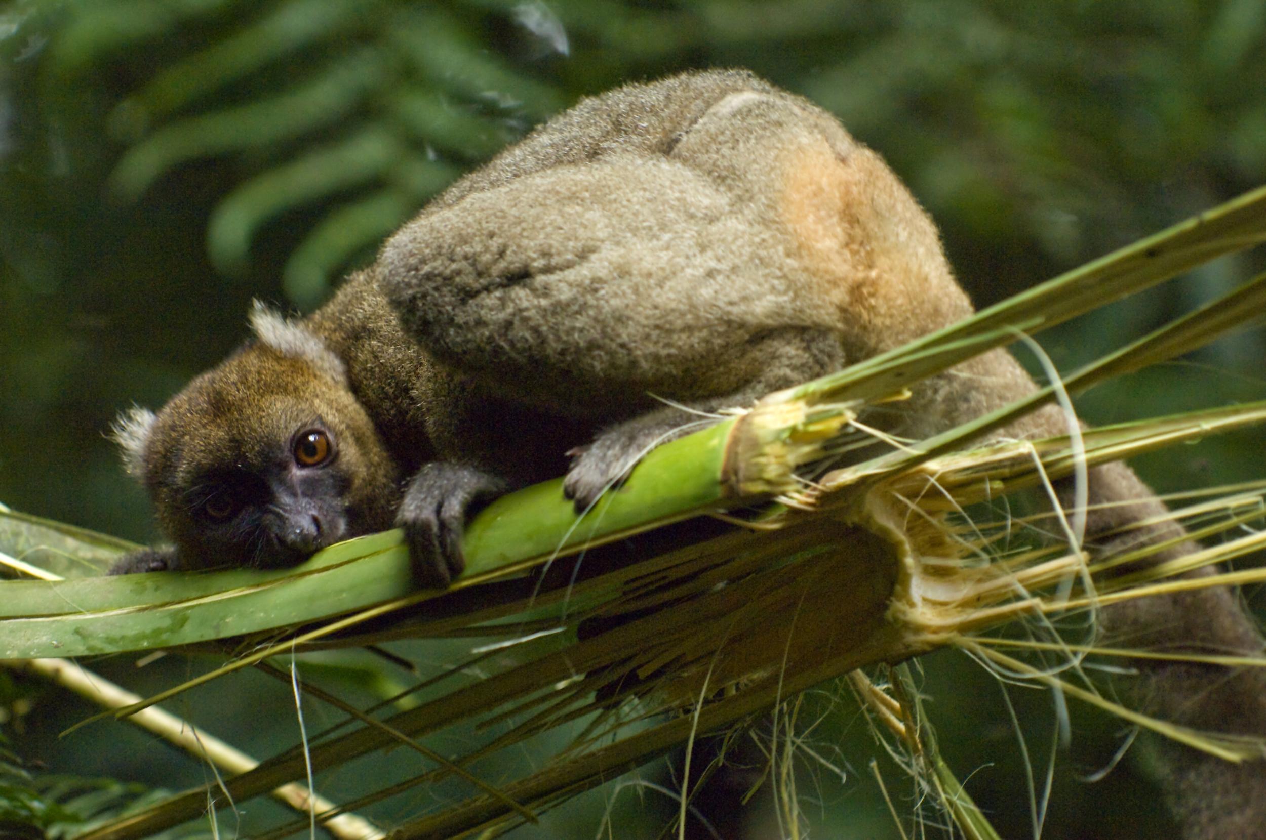 Greater Babmoo Lemur, Ranomafana National Park. Inaki Relanzon, Nature Picture Library.