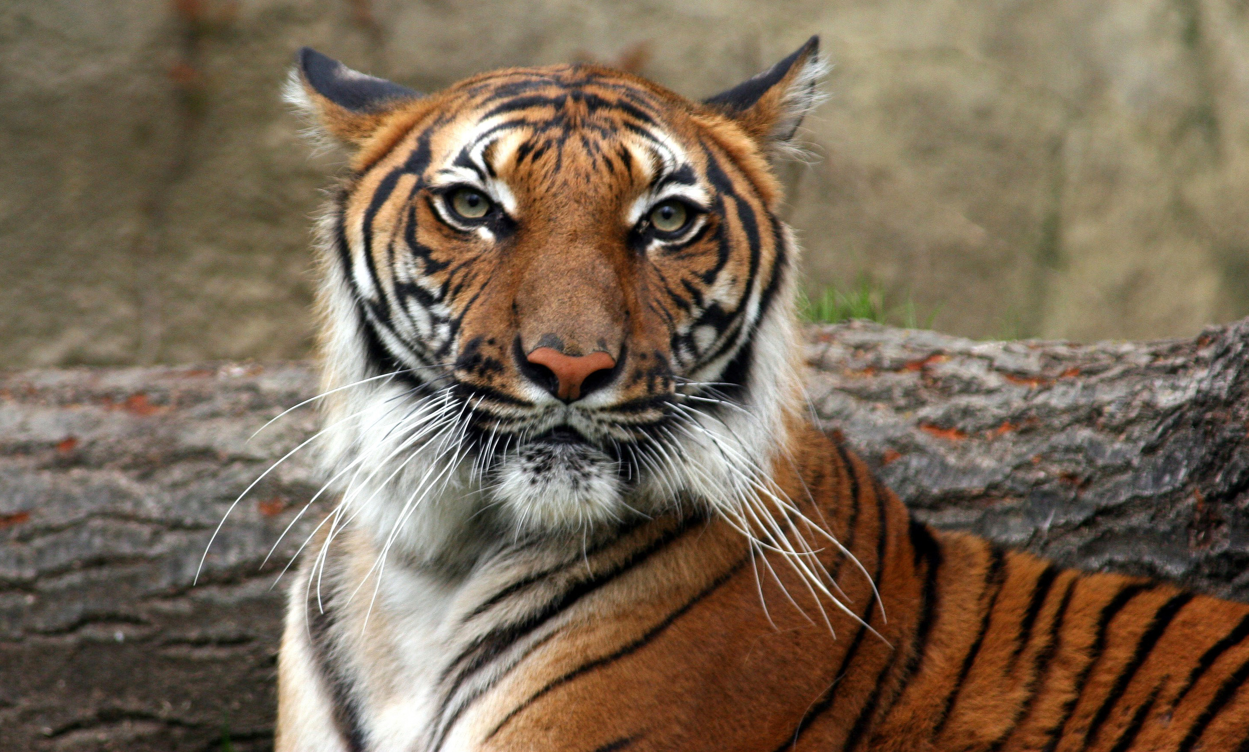 Indochinese Tiger, courtesy of Connie Lemperle