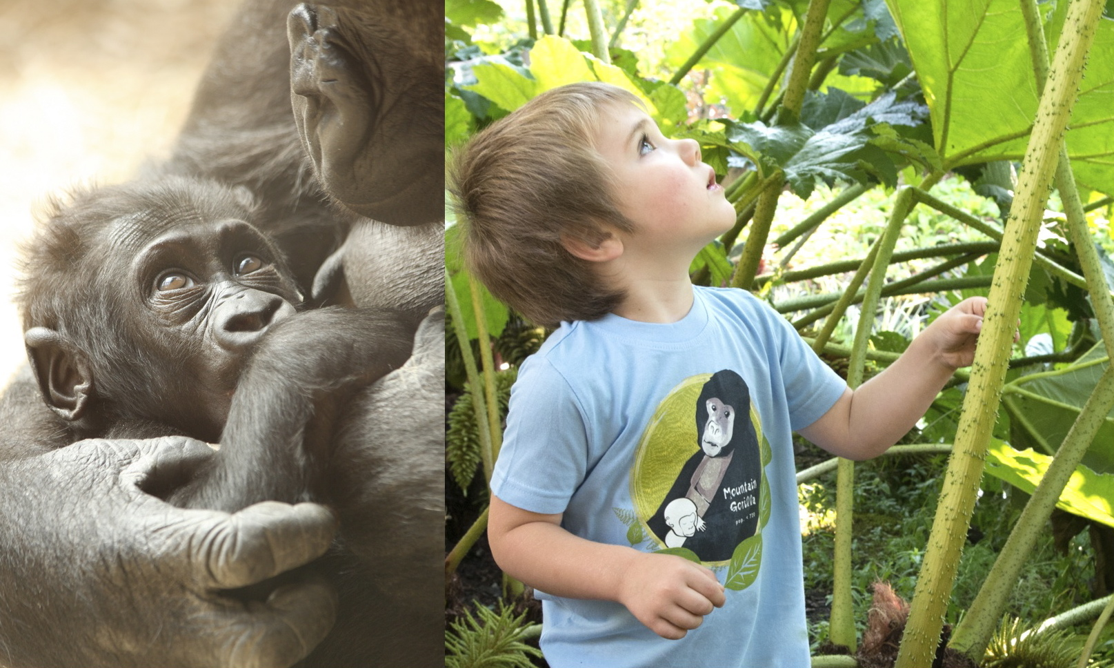 $1 for One.  Support the extraordinary work of the  International Gorilla Conservation Programme in Rwanda  by purchasing a  SpeeZees Mountain Gorilla kids tee in Baby Blue or Happy Sun.  Made from  100% GOTS certified organic cotton .