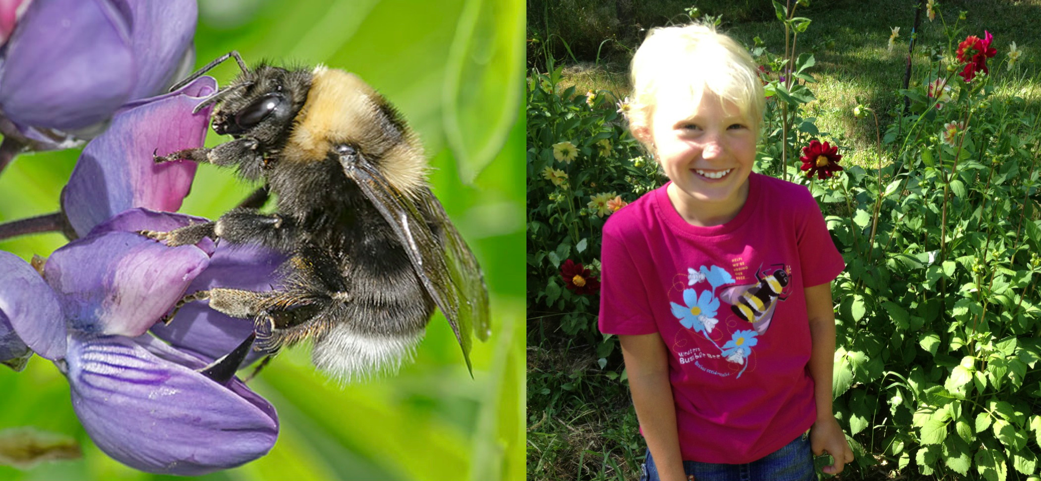 $1 for One.   Support the extraordinary work of the  Xerces Society  by purchasing a  SpeeZees Western Bumble Bee t-shirt in Raspberry or Forest .  Made from  100% GOTS certified organic cotton .