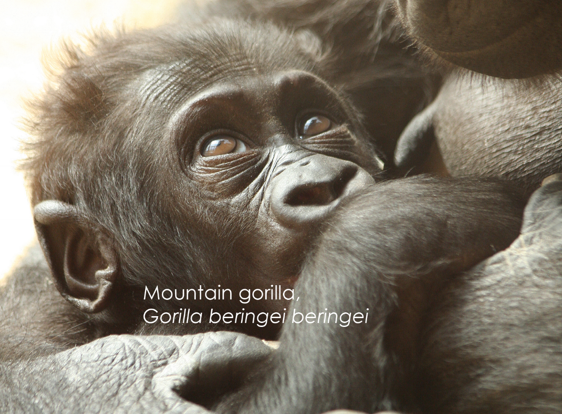 Gorilla with babe.png