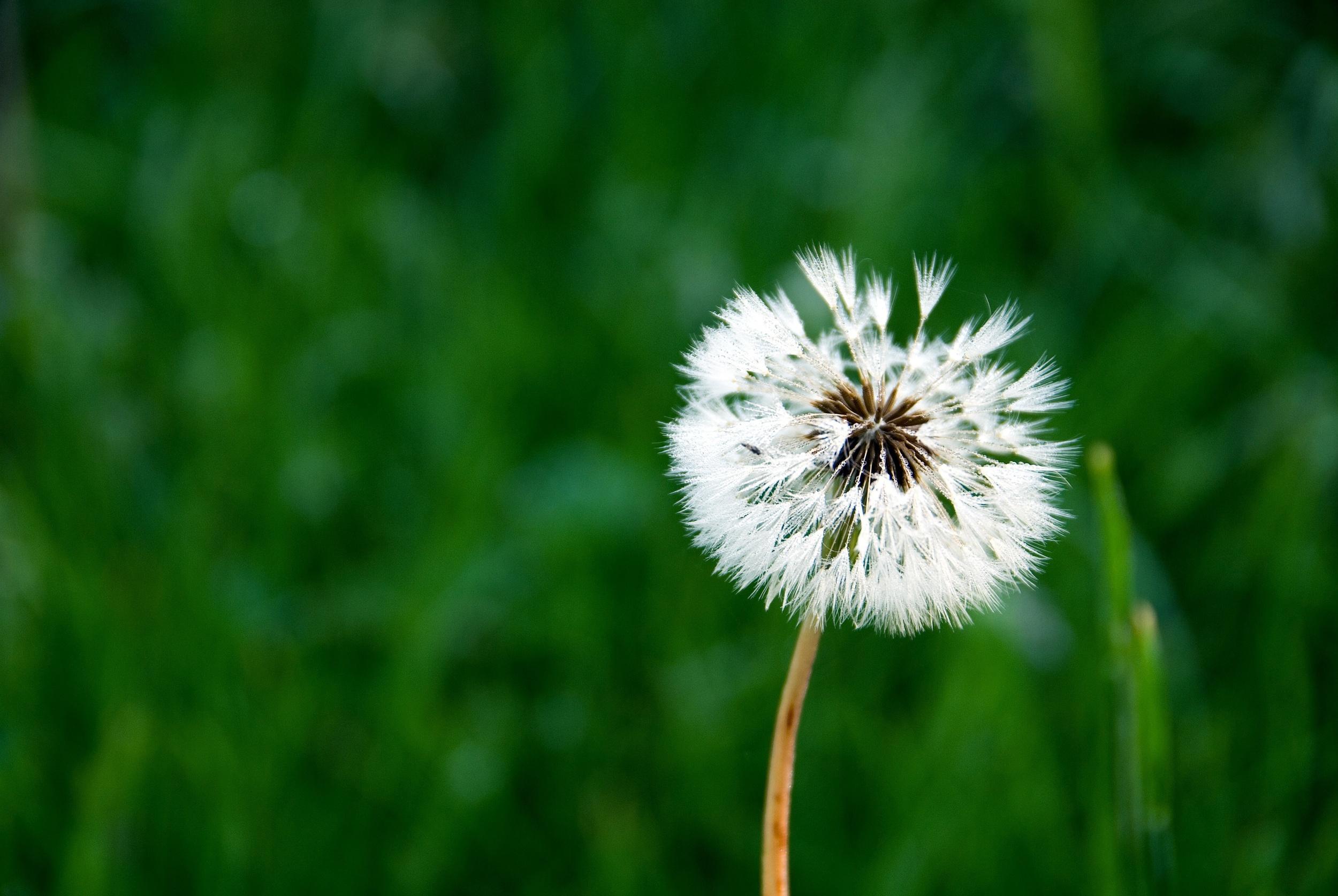 Fragile Dandelion.jpg