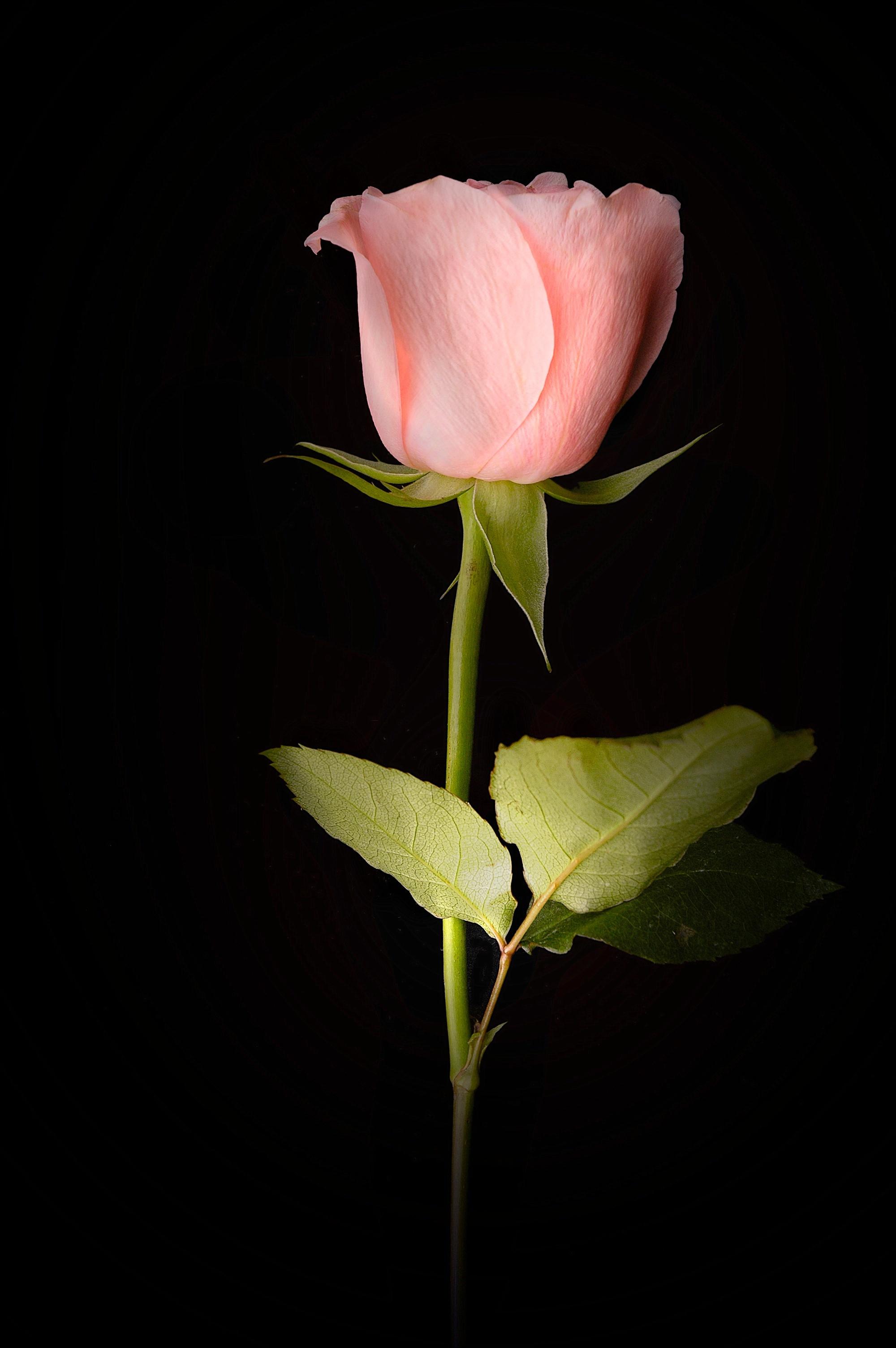 Pink_Rose.jpg
