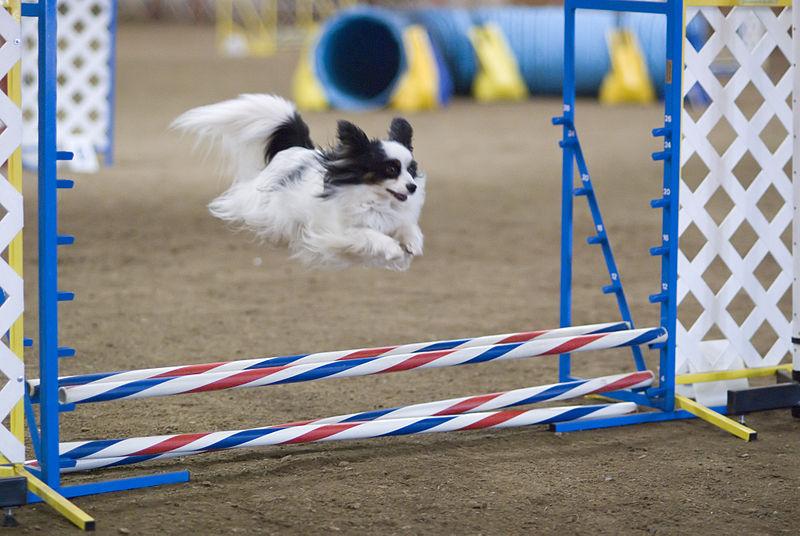 800px-Papillon_dog_agility_jump.jpg
