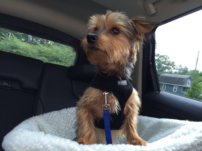Johnny the Dog - Winner of our Solvit Pet Safety Seat!