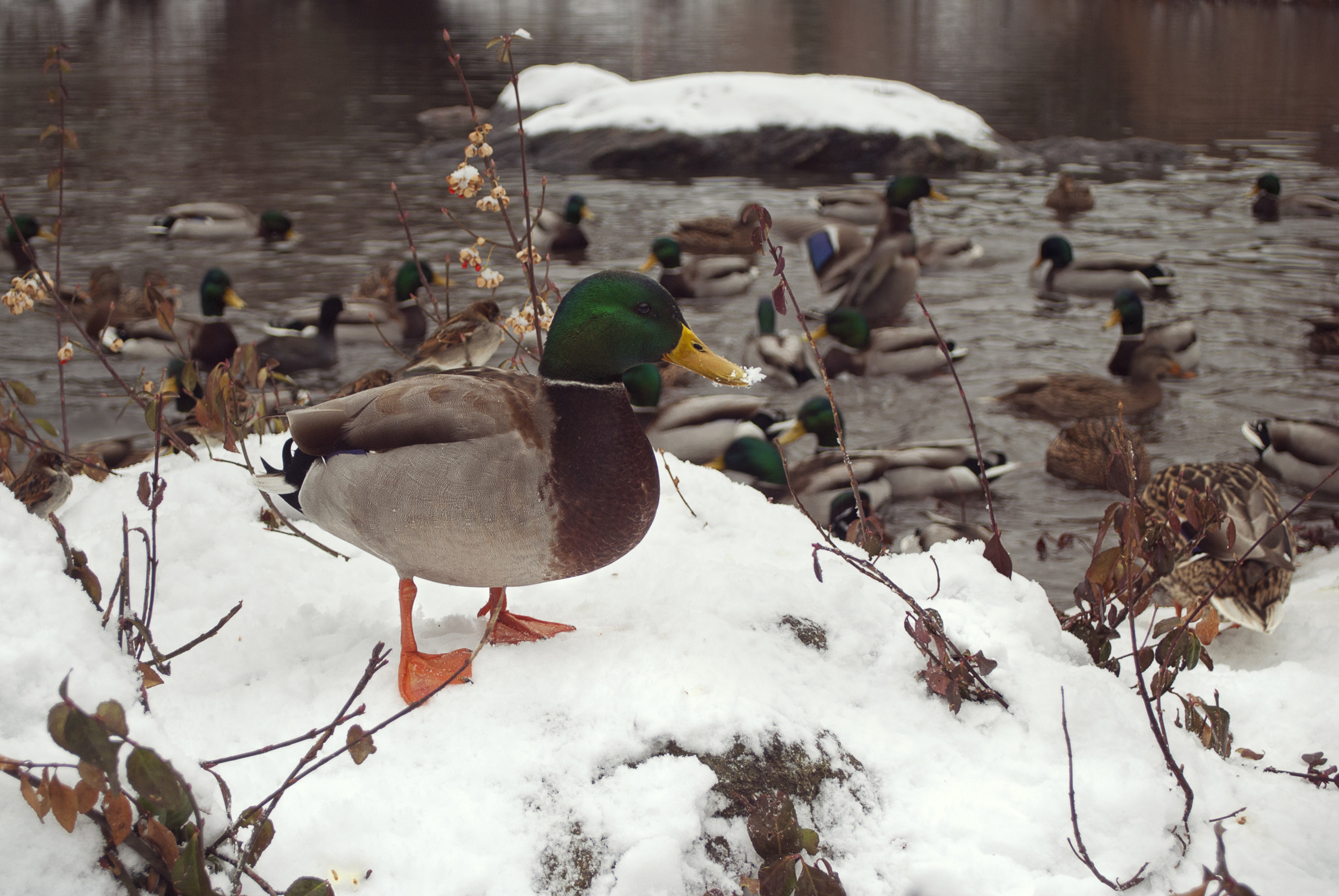 Central+Park+NYC+Snow+Duck+Winter