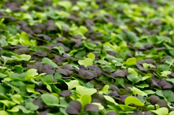Micro Greens  | Farmbox Greens
